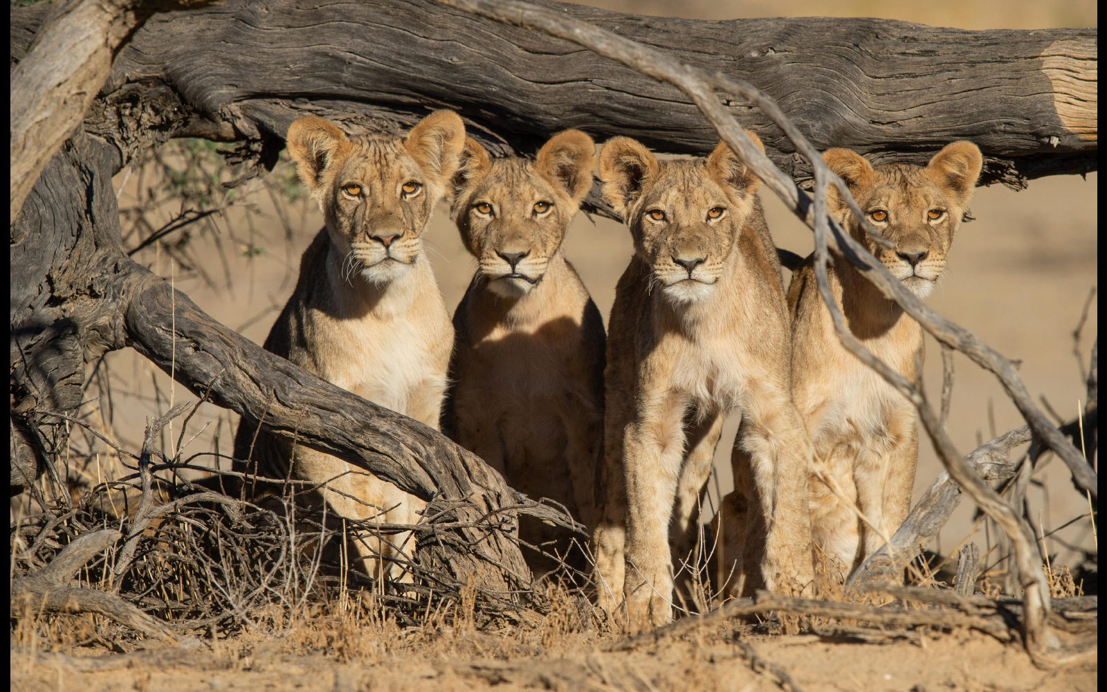 Lion cubs spotted in Kgalagadi Transfrontier Park, South Africa © Corlette Wessels (Instagram/corlette_wessels_photography)