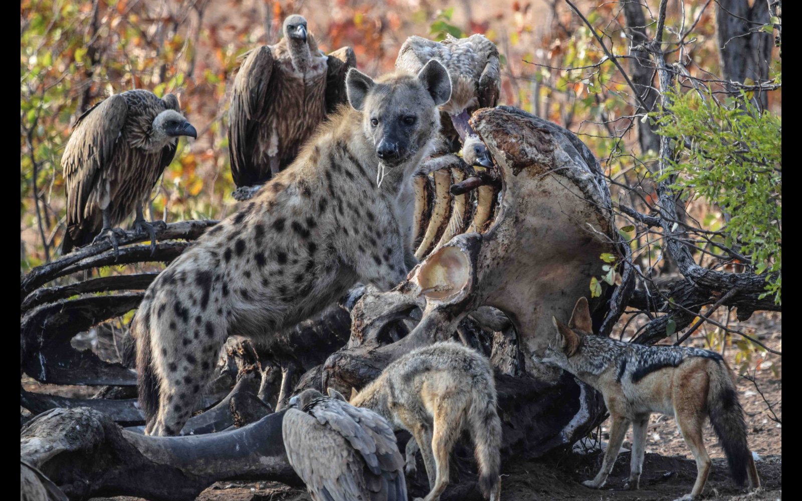 Black-backed jackals, a spotted hyena and white-backed vultures feed on the leftovers of an elephant carcass, Kruger National Park, South Africa © Yolandi Roux