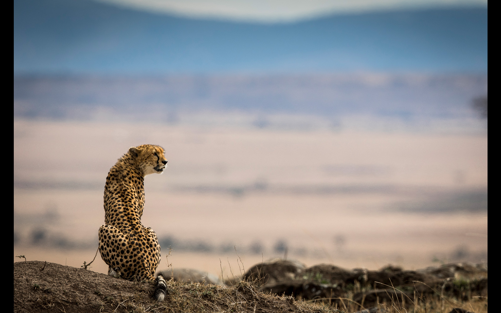 A cheetah on the lookout in Maasai Mara National Reserve, Kenya © Patrice Quillard