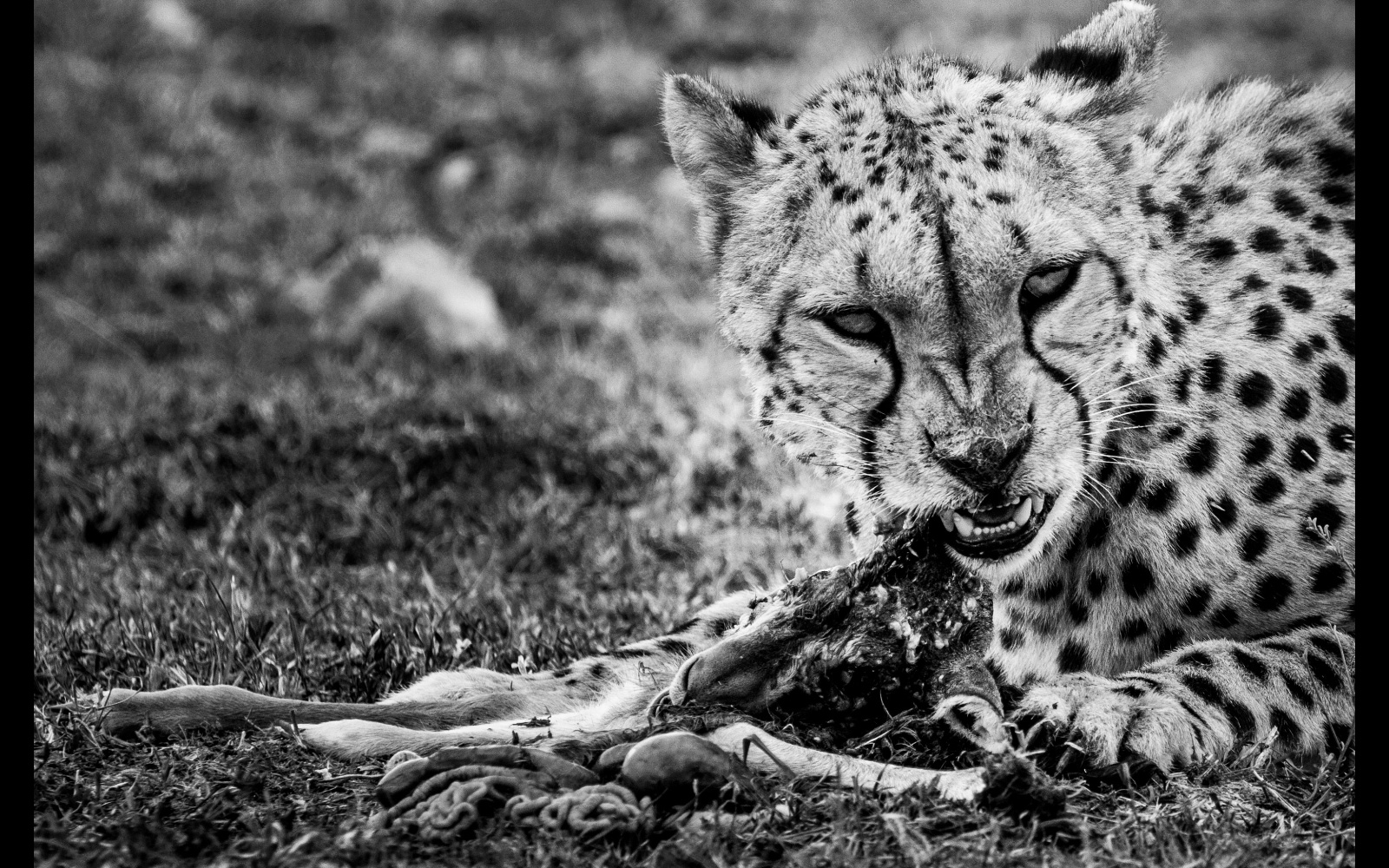 """Intensity"" – a pregnant female cheetah with her kill in Maasai Mara National Reserve, Kenya © Fiona Noyes"