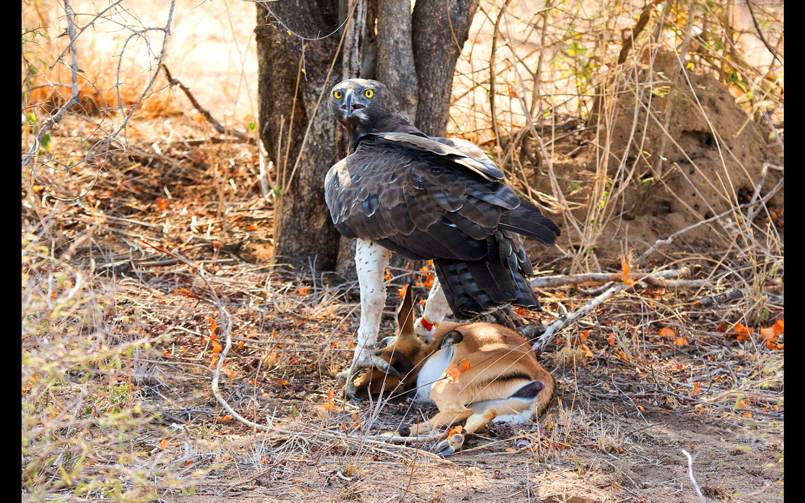 A martial eagle with its prey, an impala calf, in Kruger National Park, South Africa © Logan Weavind