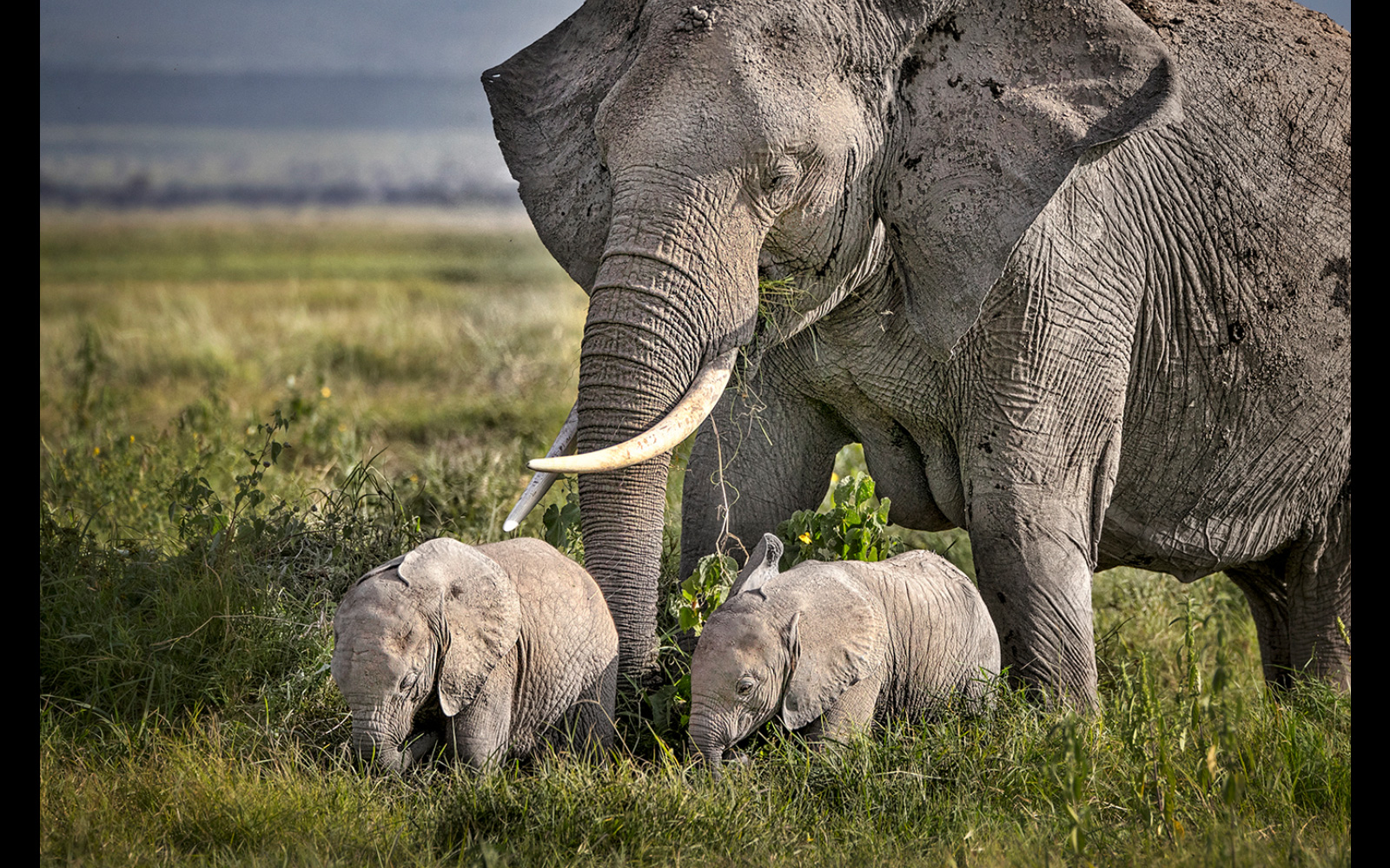 An elephant with twin calves in Amboseli National Park, Kenya © Kevin Dooley