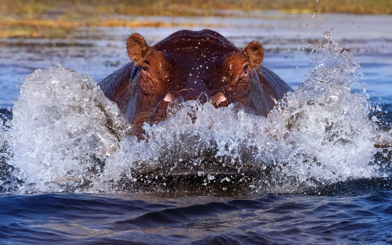A hippo charges through the water in Chobe National Park, Botswana © Panos Laskarakis