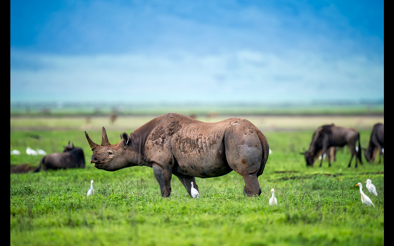 A black rhino in Tanzania © Licinia Machado