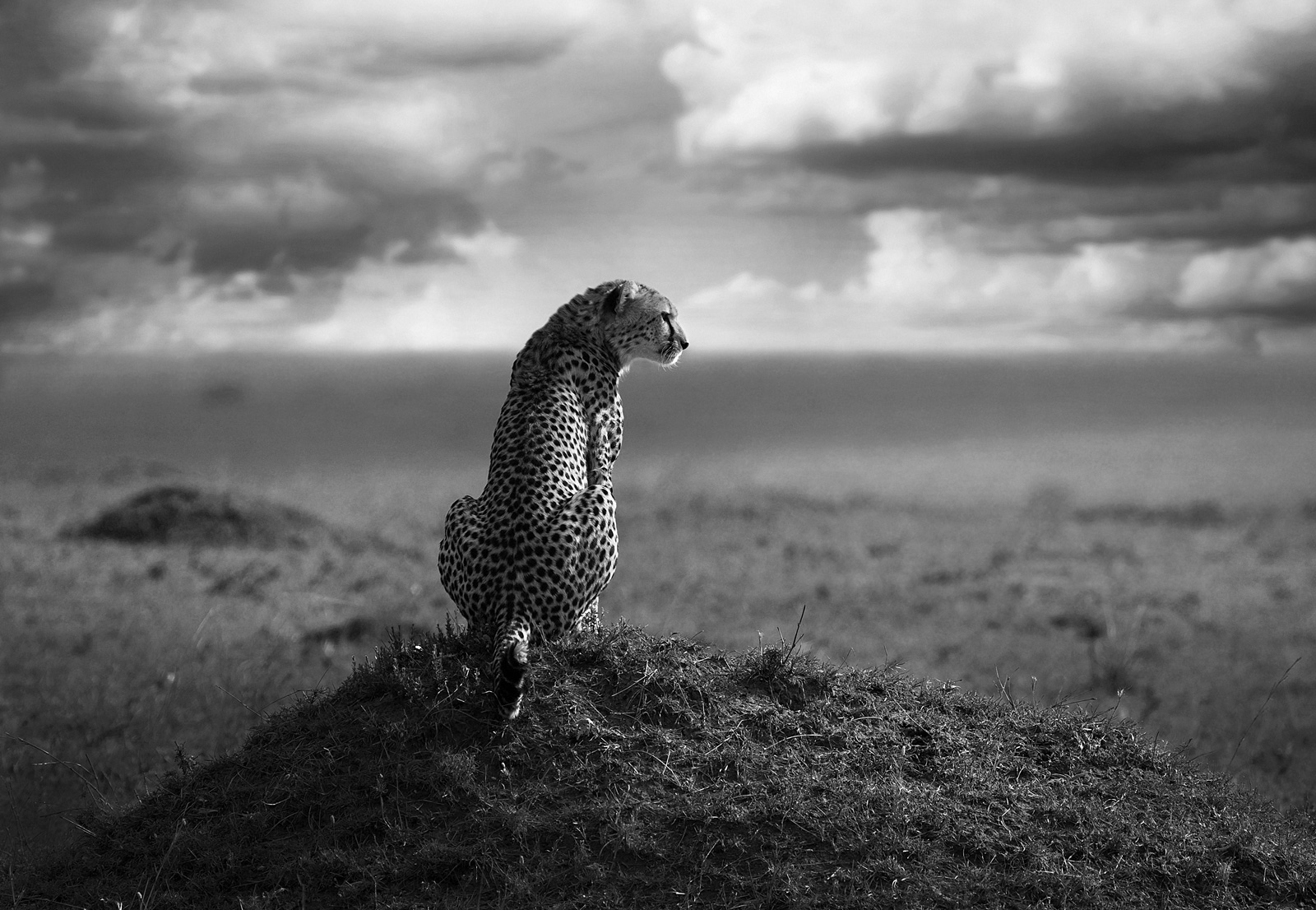 "Cheetahs are the ultimate graceful cat of Africa © <a href=""http://bjornpersson.nu/"" target=""_blank"">Björn Persson</a>"