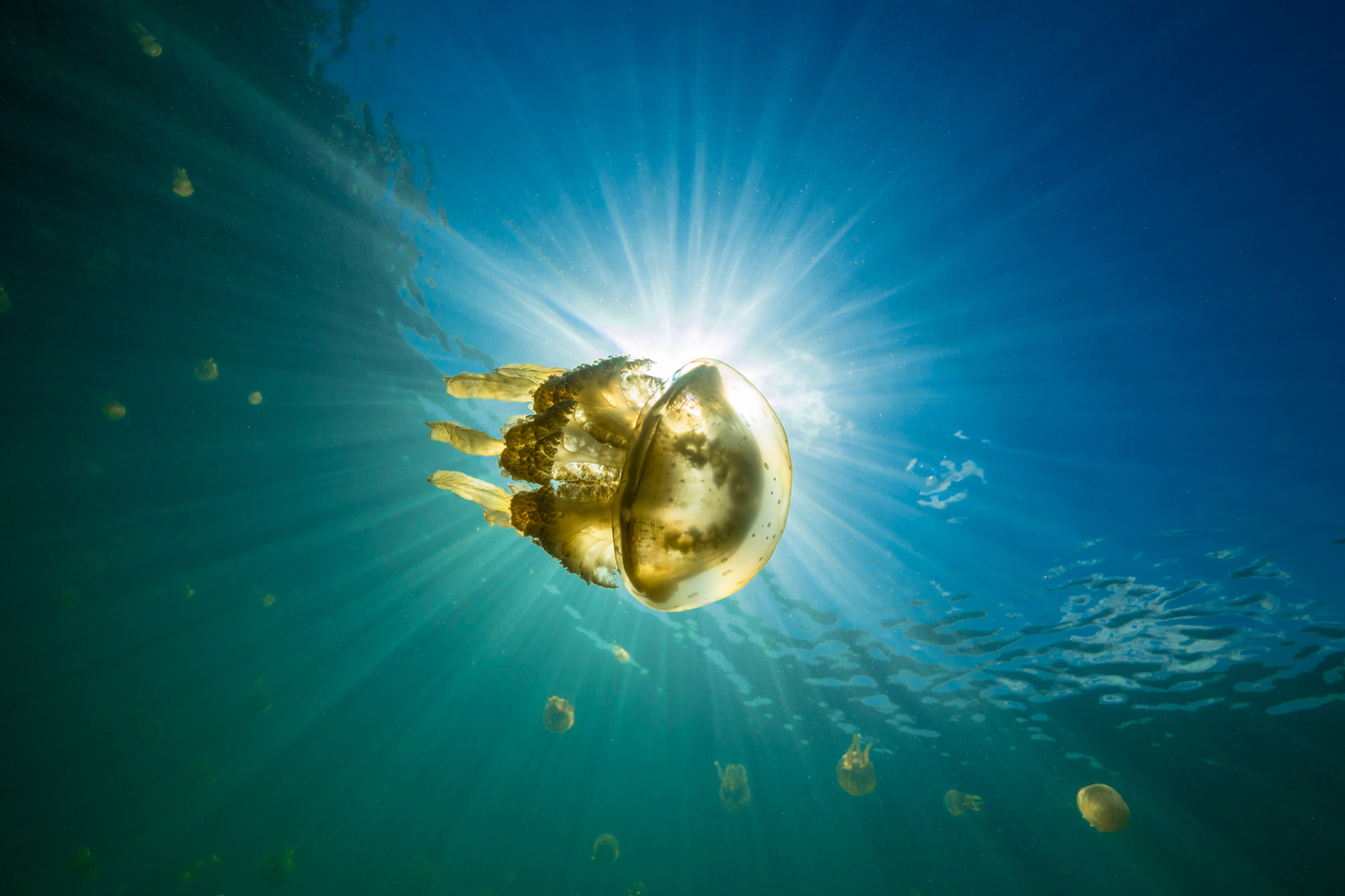 A jellyfish in the shallow water around the mangroves of Mafia Island, Tanzania ©Chris Rohner