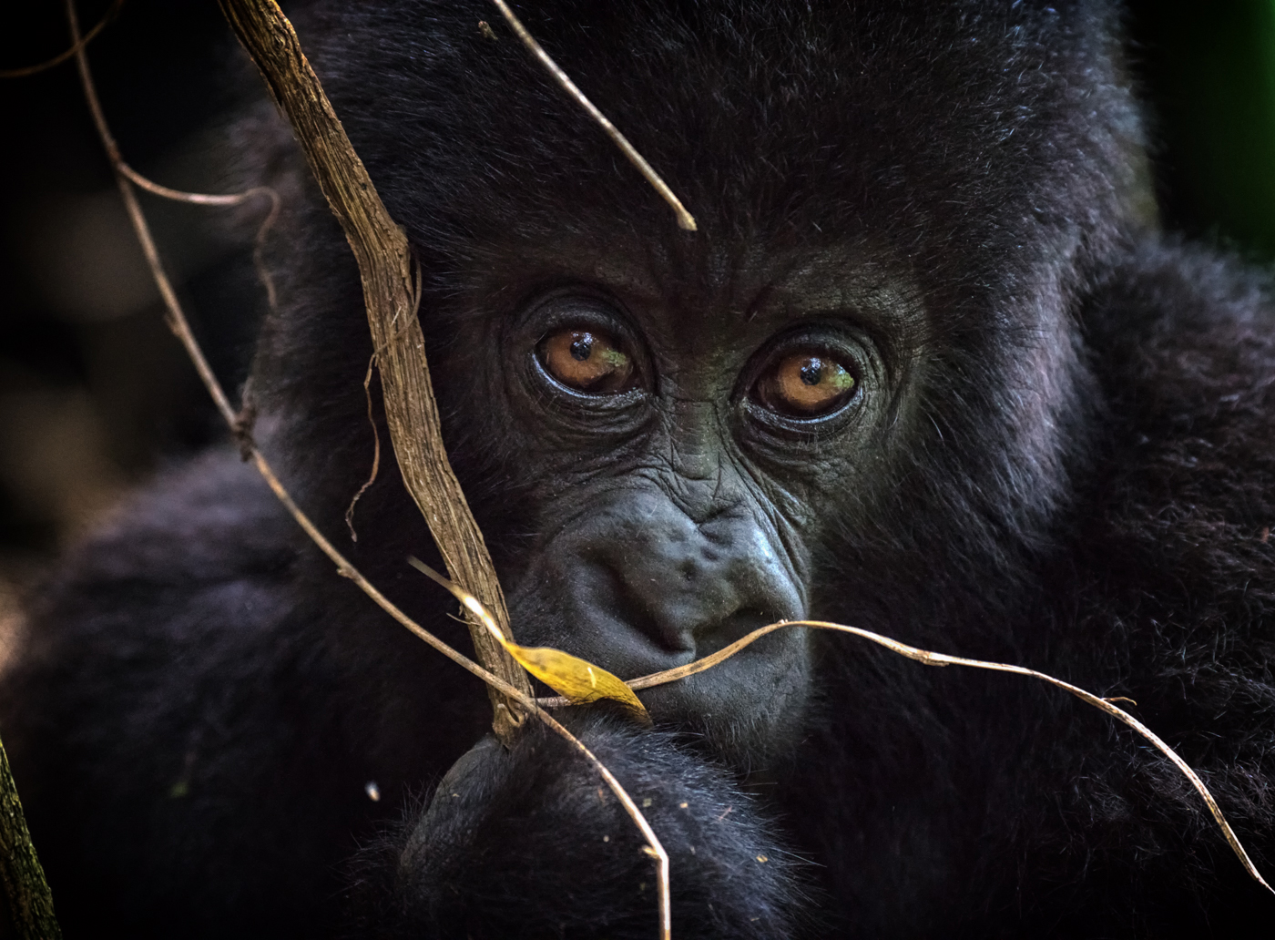 Here's looking at you in Volcanoes National Park, Rwanda ©Cohan Zarnoch