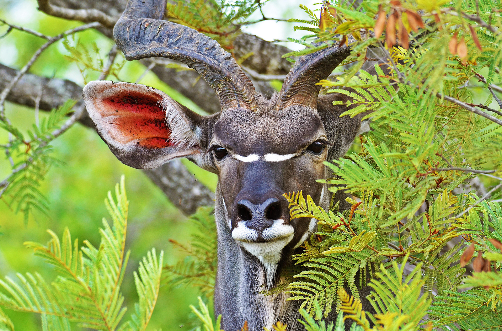 A beautiful kudu grazes peacefully on the undergrowth in the Kruger National Park, South Africa ©Paul Oxton