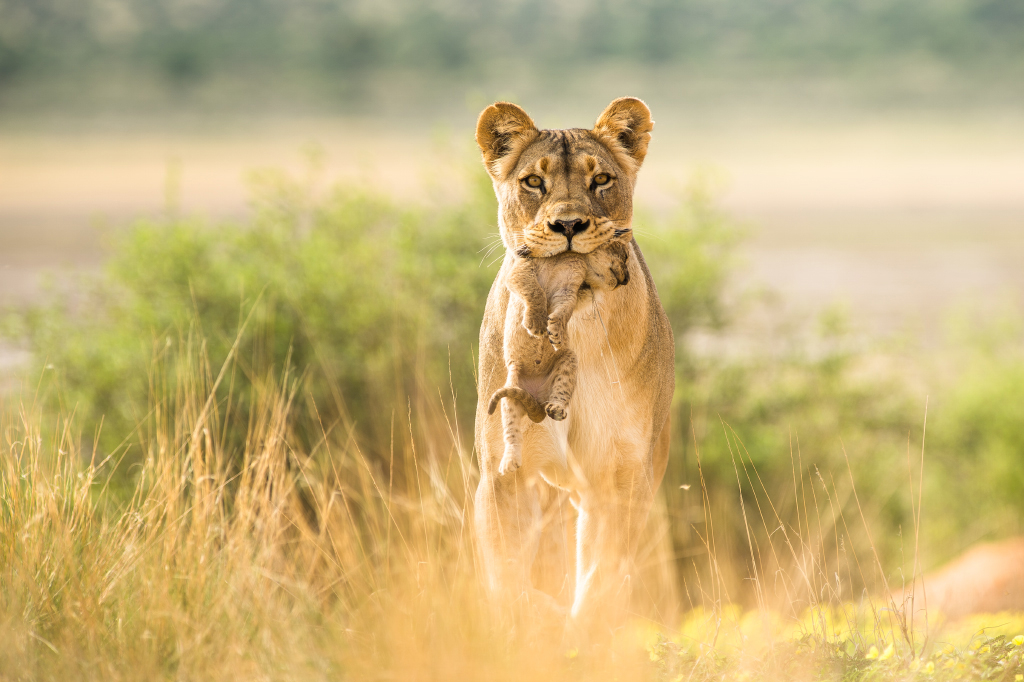 A lioness in the Kgalagadi Transfrontier Park tries to save her cub from a coalition of three male lions ©Thomas Brühlmann