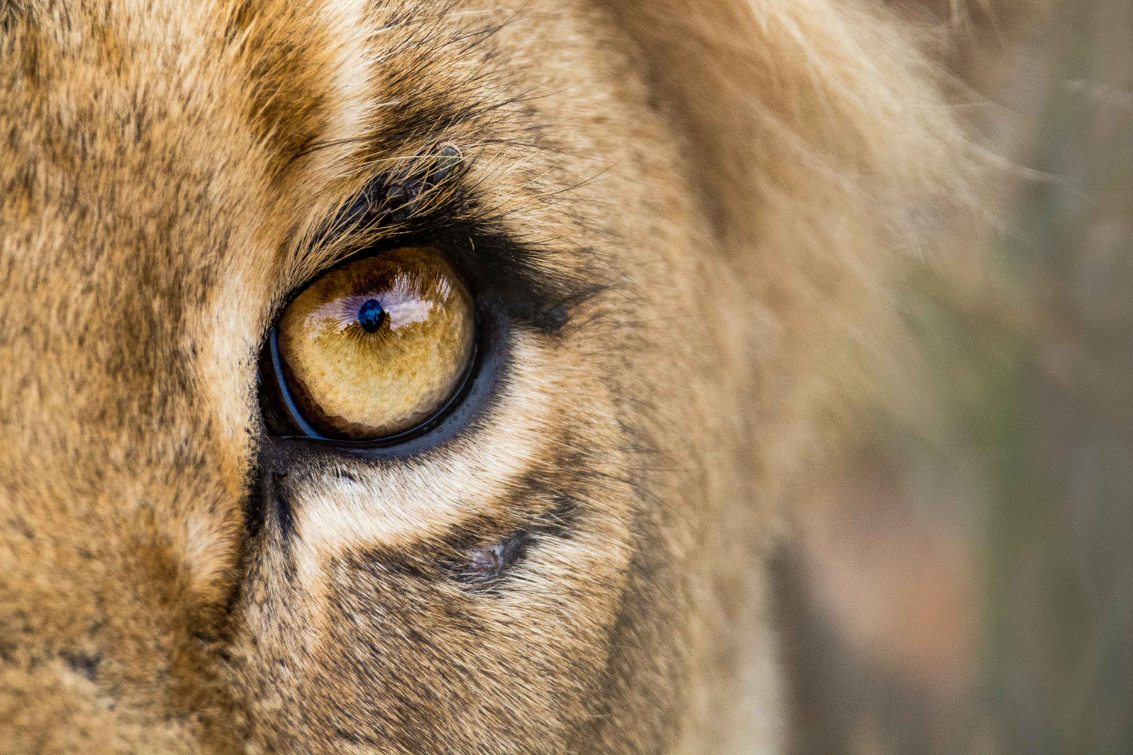 """A young male lion stares powerfully into the camera at <a href=""""http://www.djuma.com"""" target=""""_blank"""" class=""""track"""">Djuma Private Game Reserve</a>, South Africa ©Michael Dippenaar"""