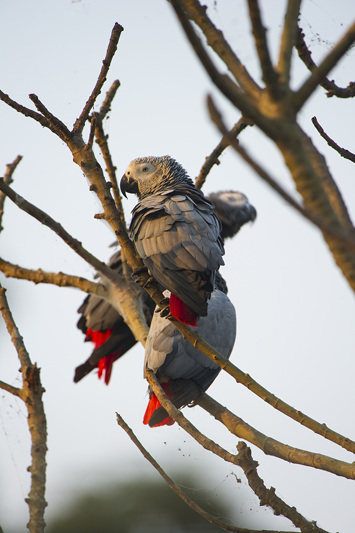 African Grey Parrot Release--Near Aviary 1a-