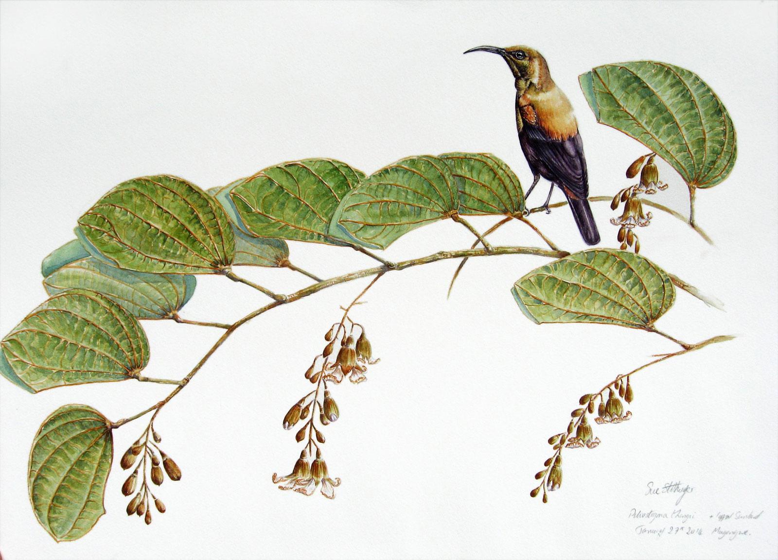 Watercolour-of-copper-sunbird-and-piliostigma-thoningii
