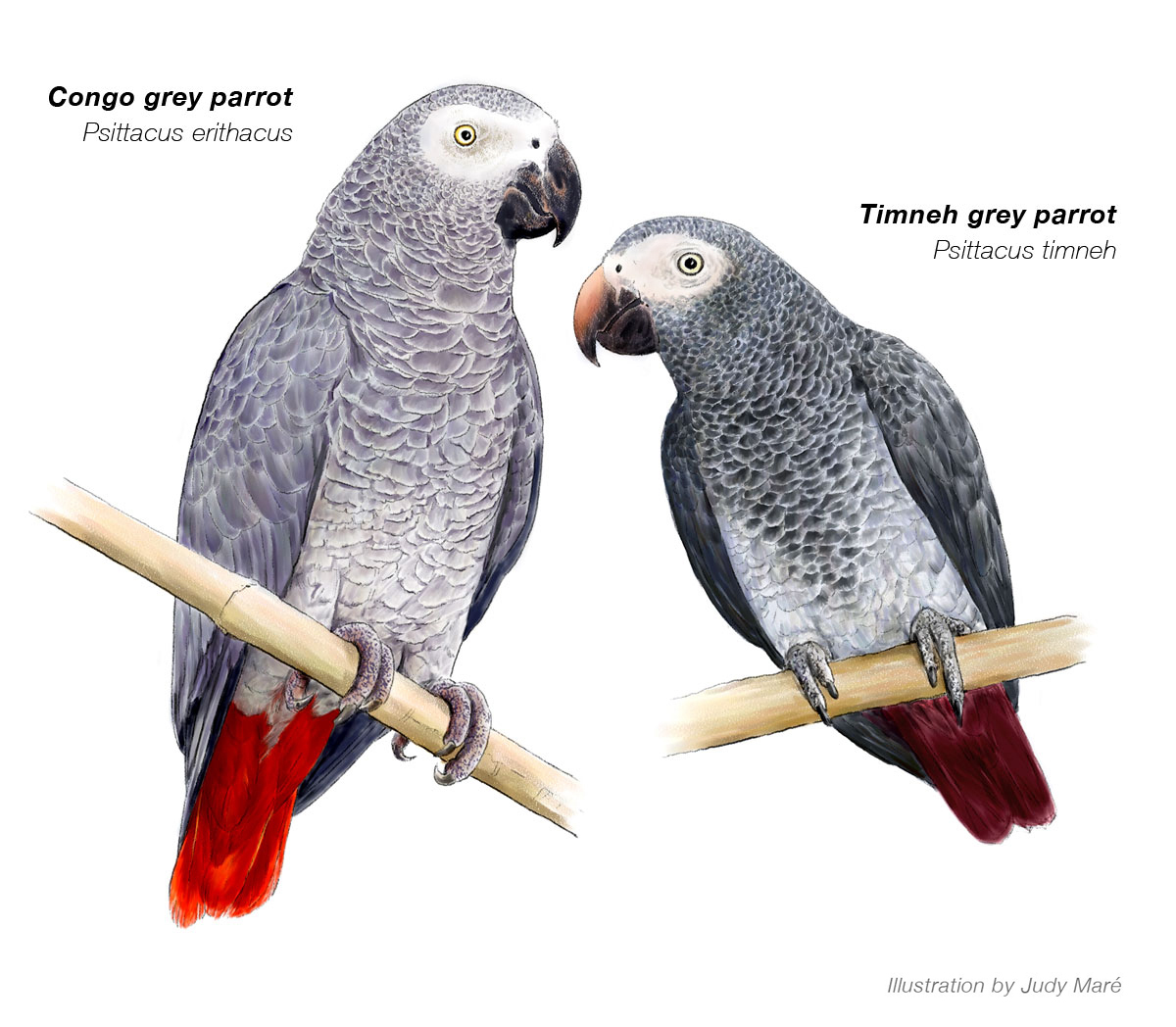 grey-parrot-illustration-africa-geographic