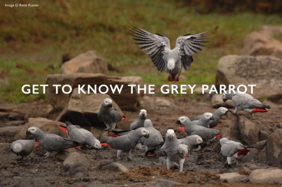 grey-parrots-header-2