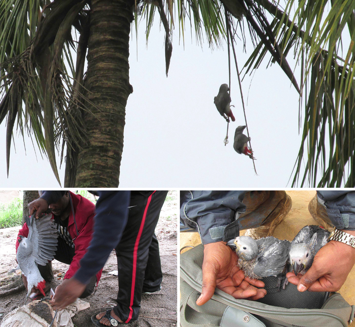grey-parrots-shades-of-grey-4
