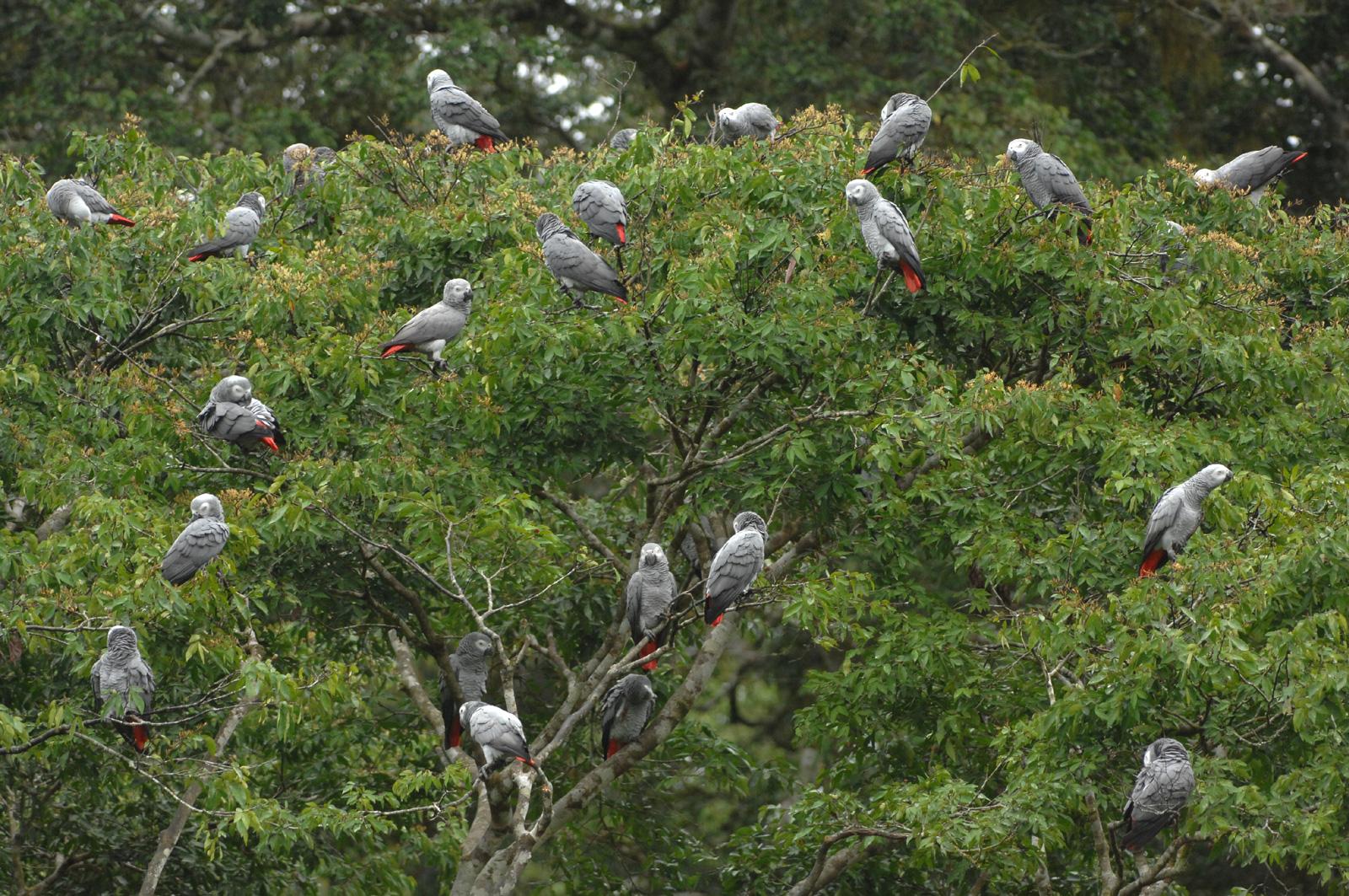 grey-parrots-shadws-of-grey-2