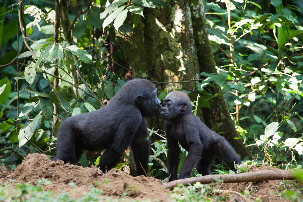 Congo-gorillas-kissing-Sophie-Smith_Go2Africa_018