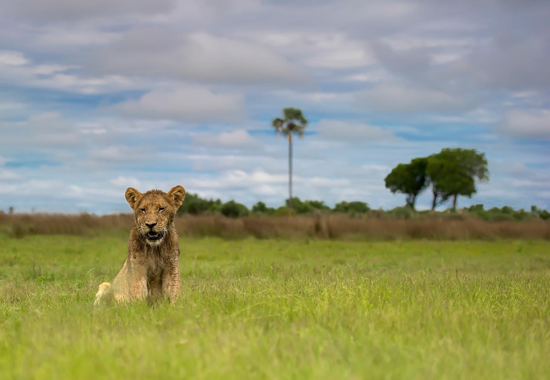 Lion-Cub-LL-Edit-©Mark-Drysdale