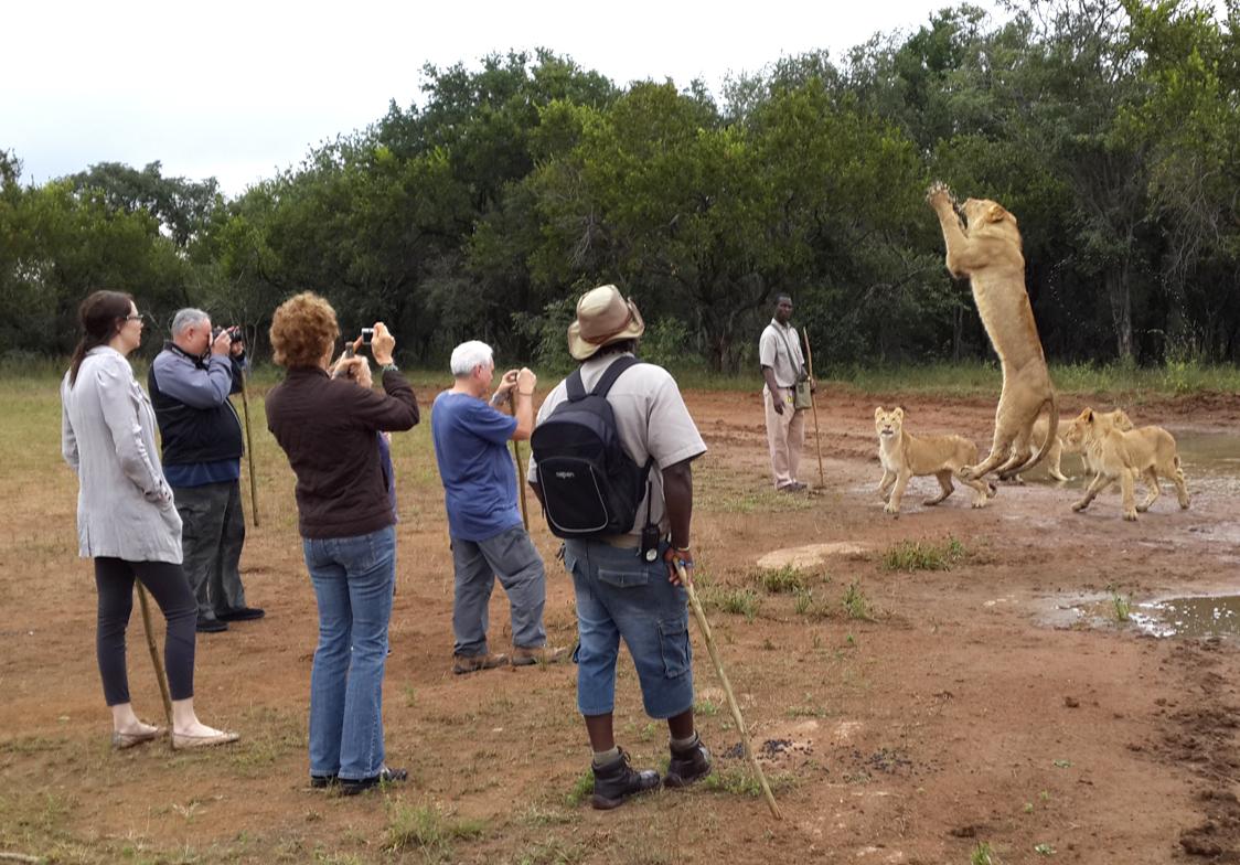 Lion-jumping-simon-espley