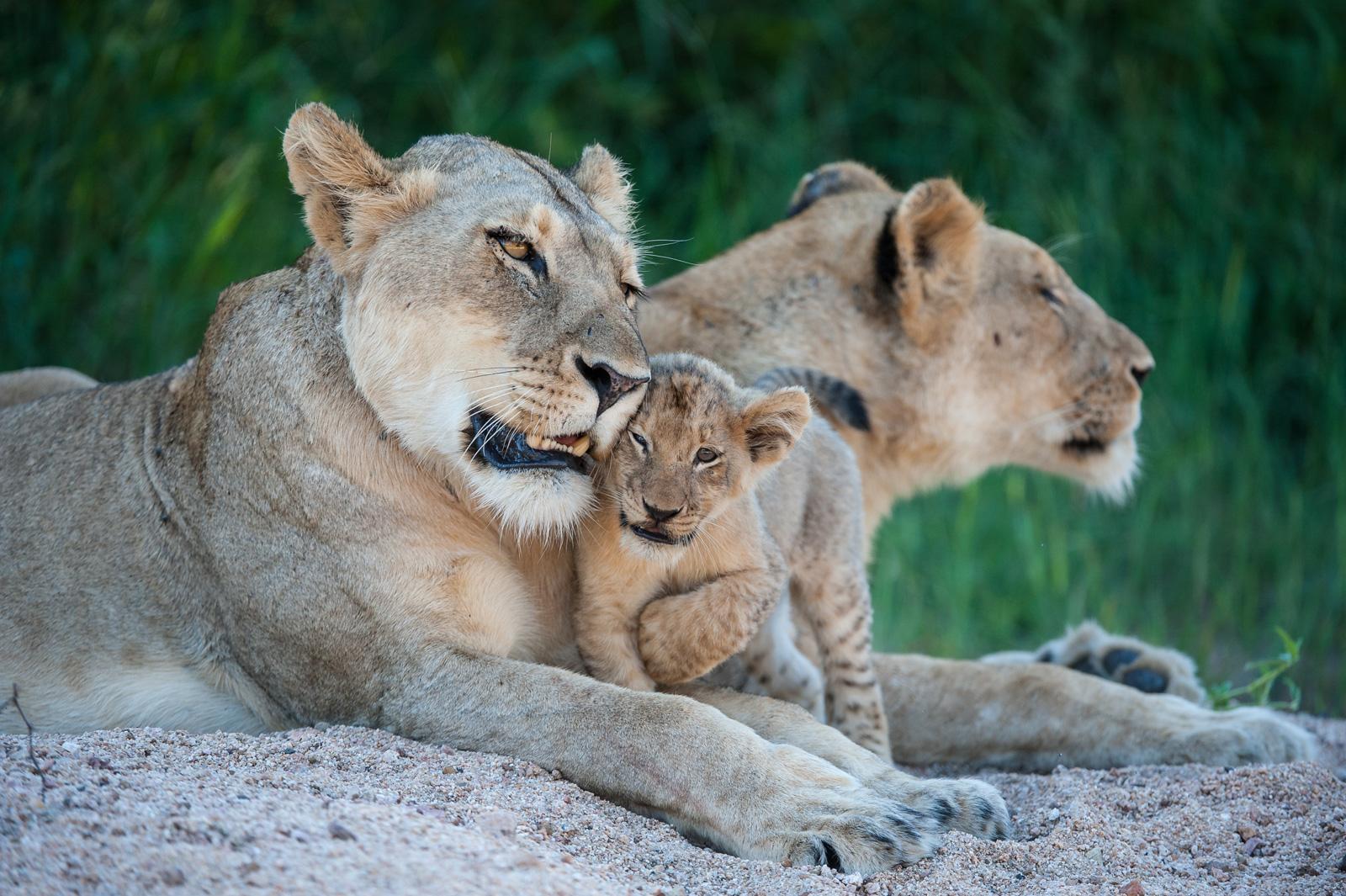 Lion-mother-©WimVorster