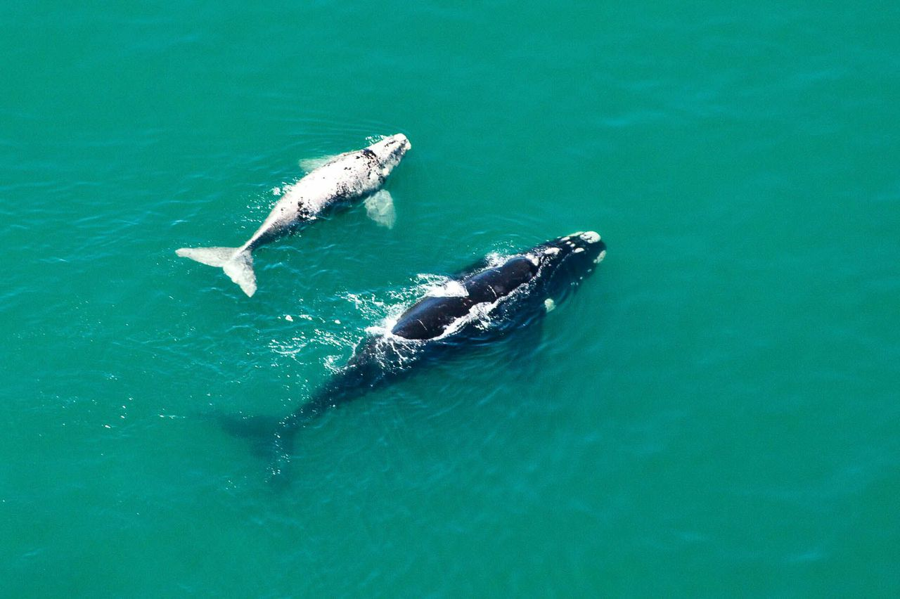 southern right whale and calf south africa ©scott ramsay