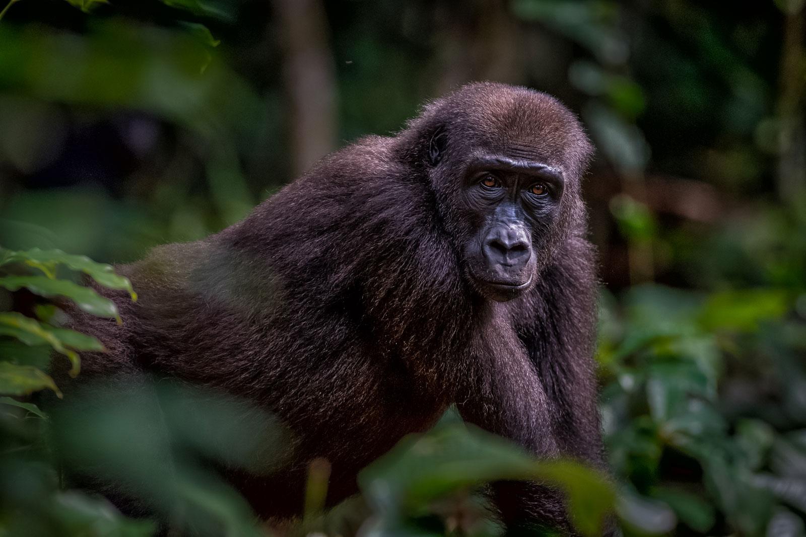 congo-gorillas-2_Michael-Viljoen