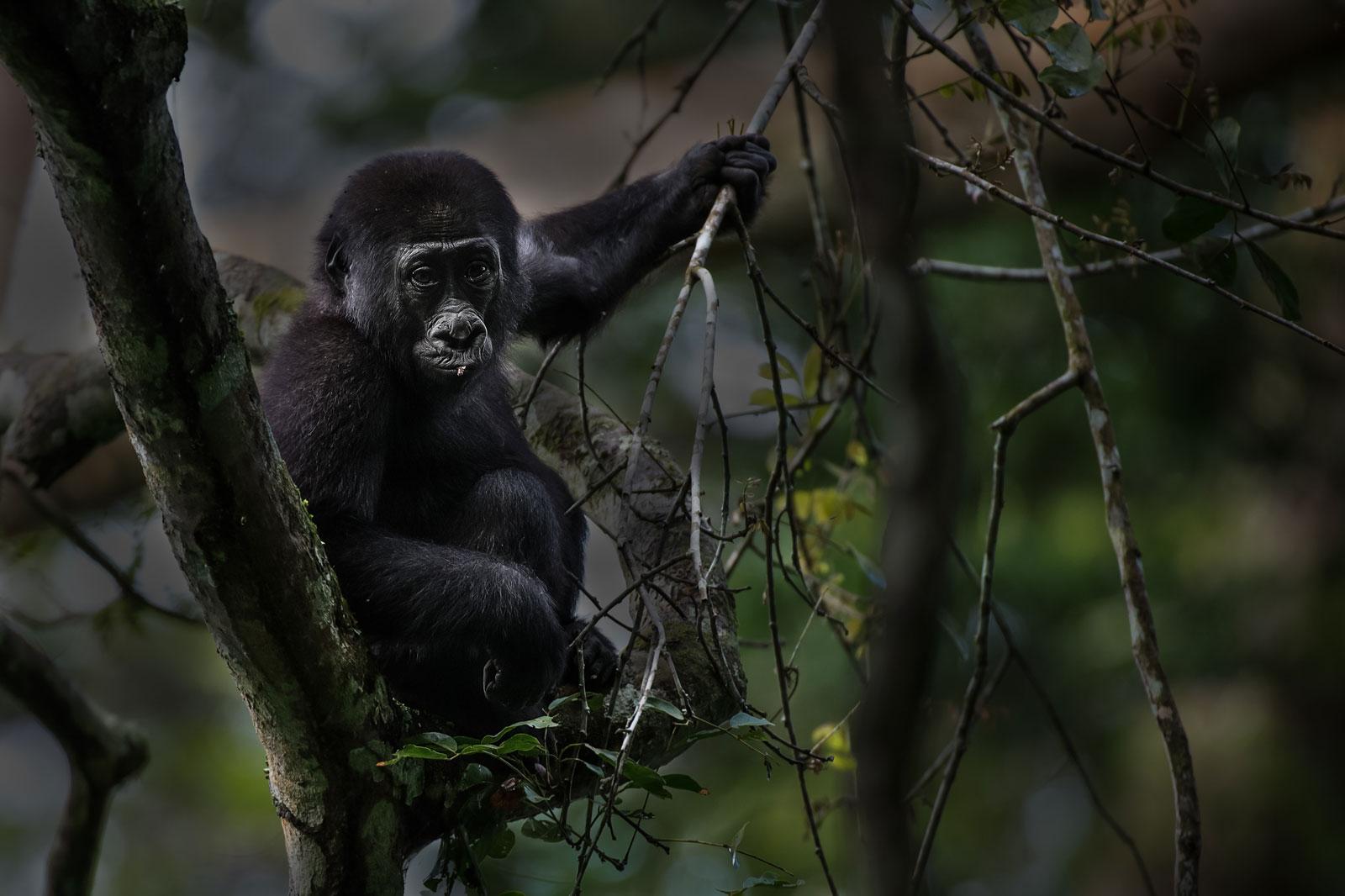 congo-gorillas-3_Michael-Viljoen