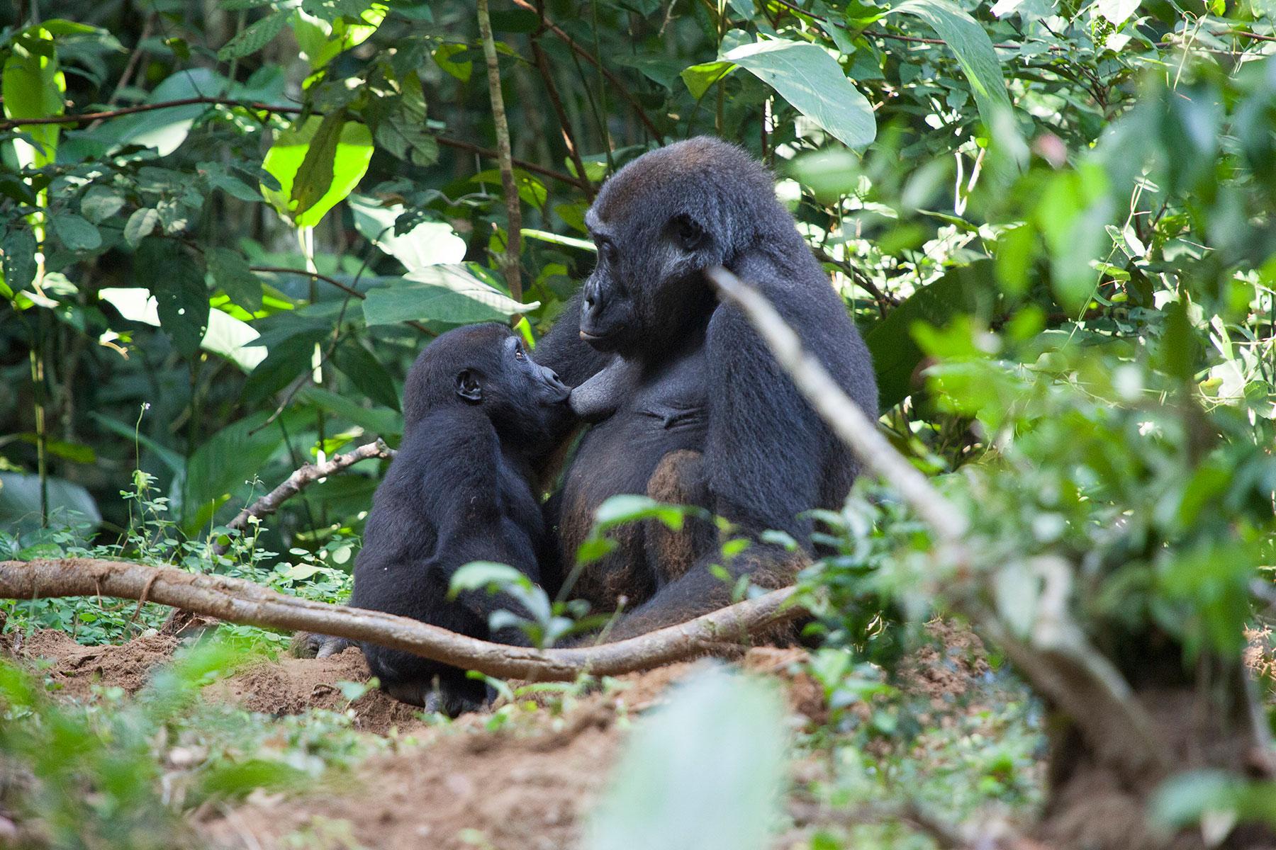 congo-gorillas-sophie-smith-4