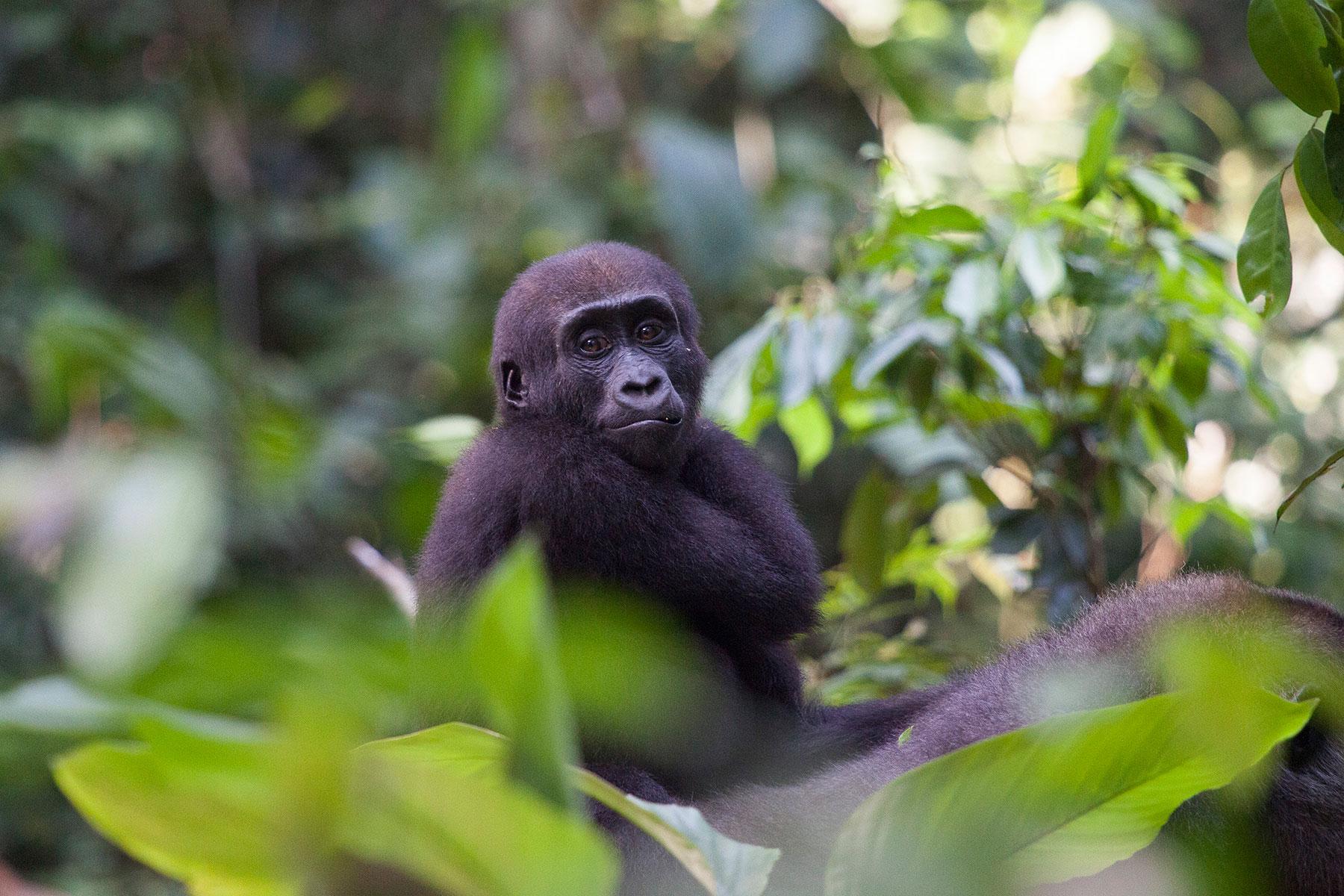 congo-gorillas-sophie-smith-header