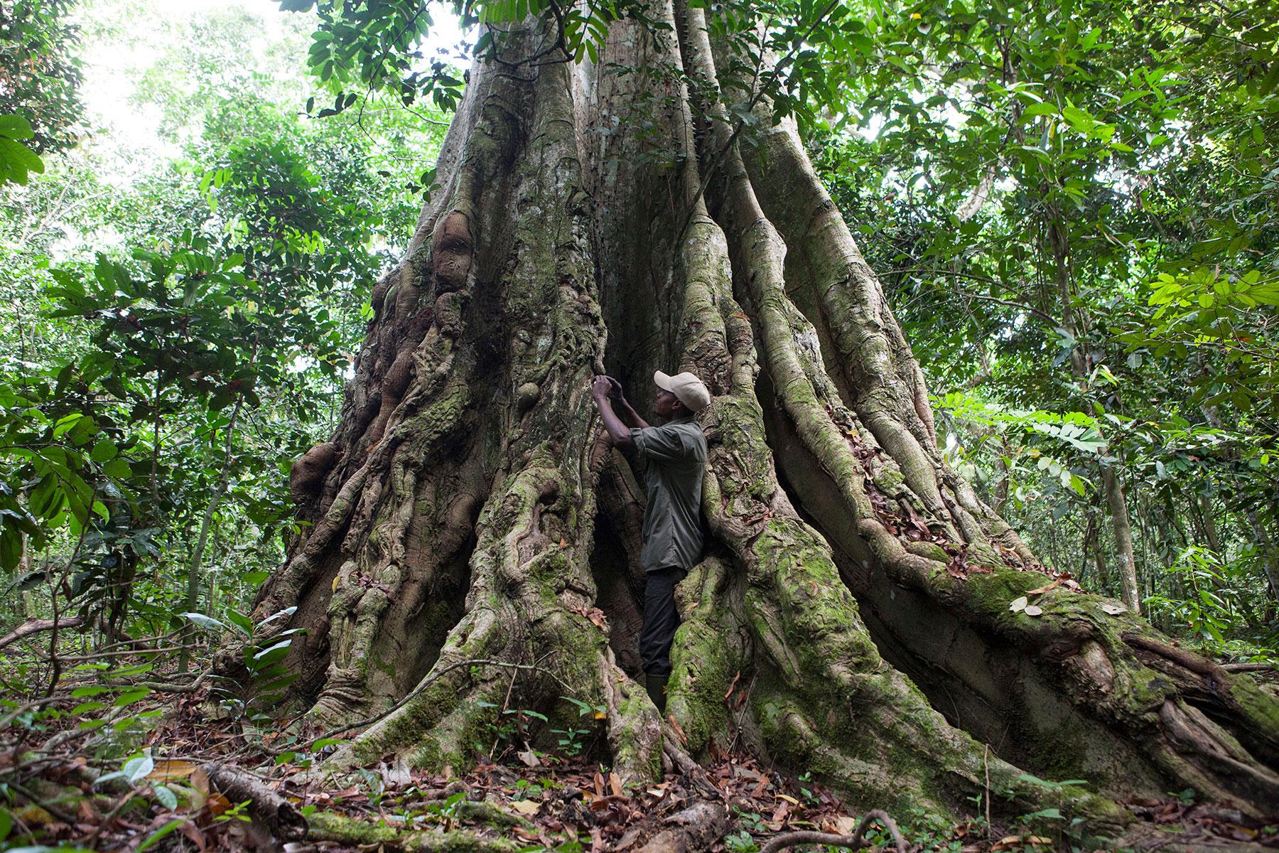 congo-gorillas-tree-sophie-smith