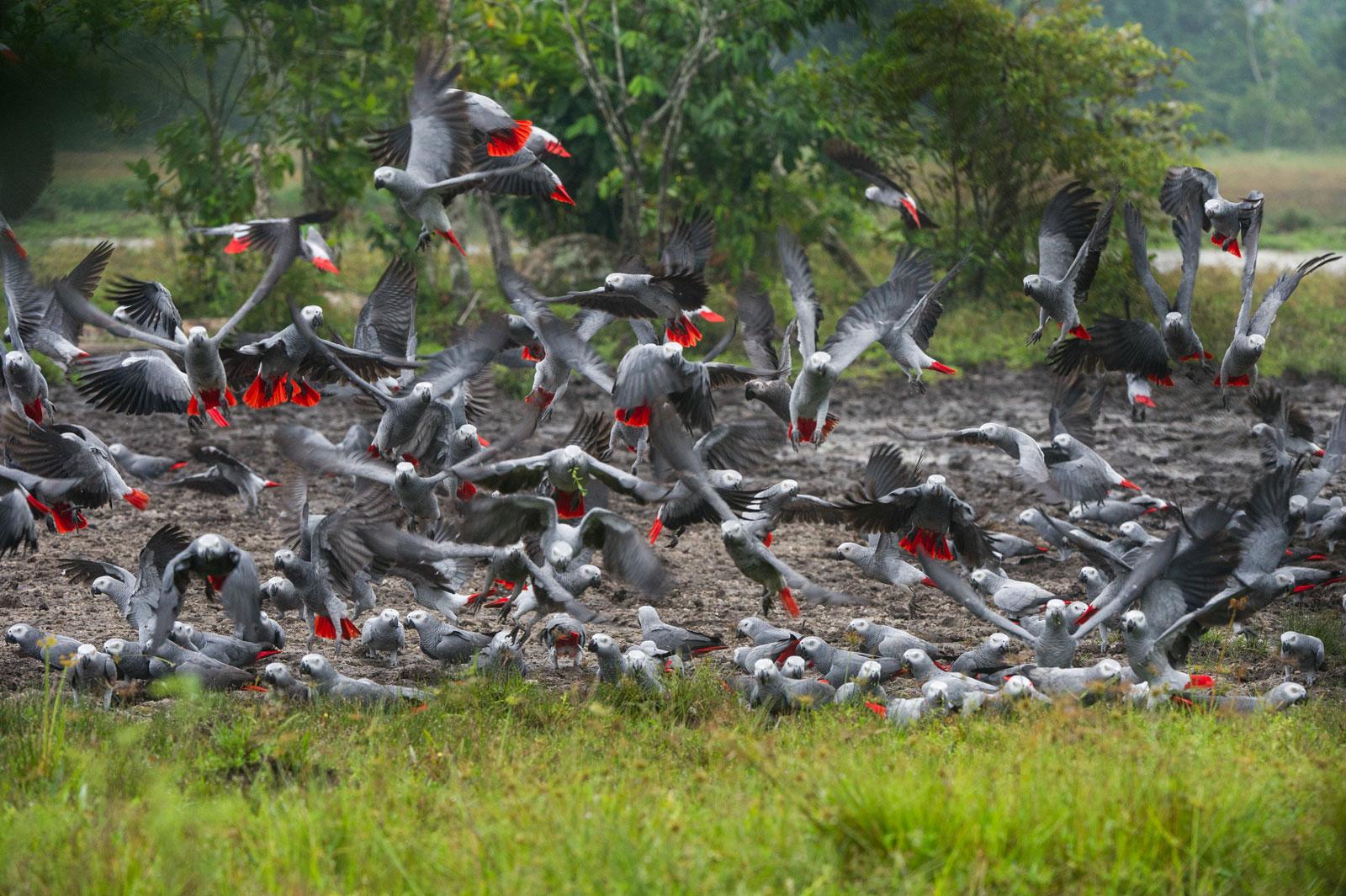grey-parrots_Pete-Oxford