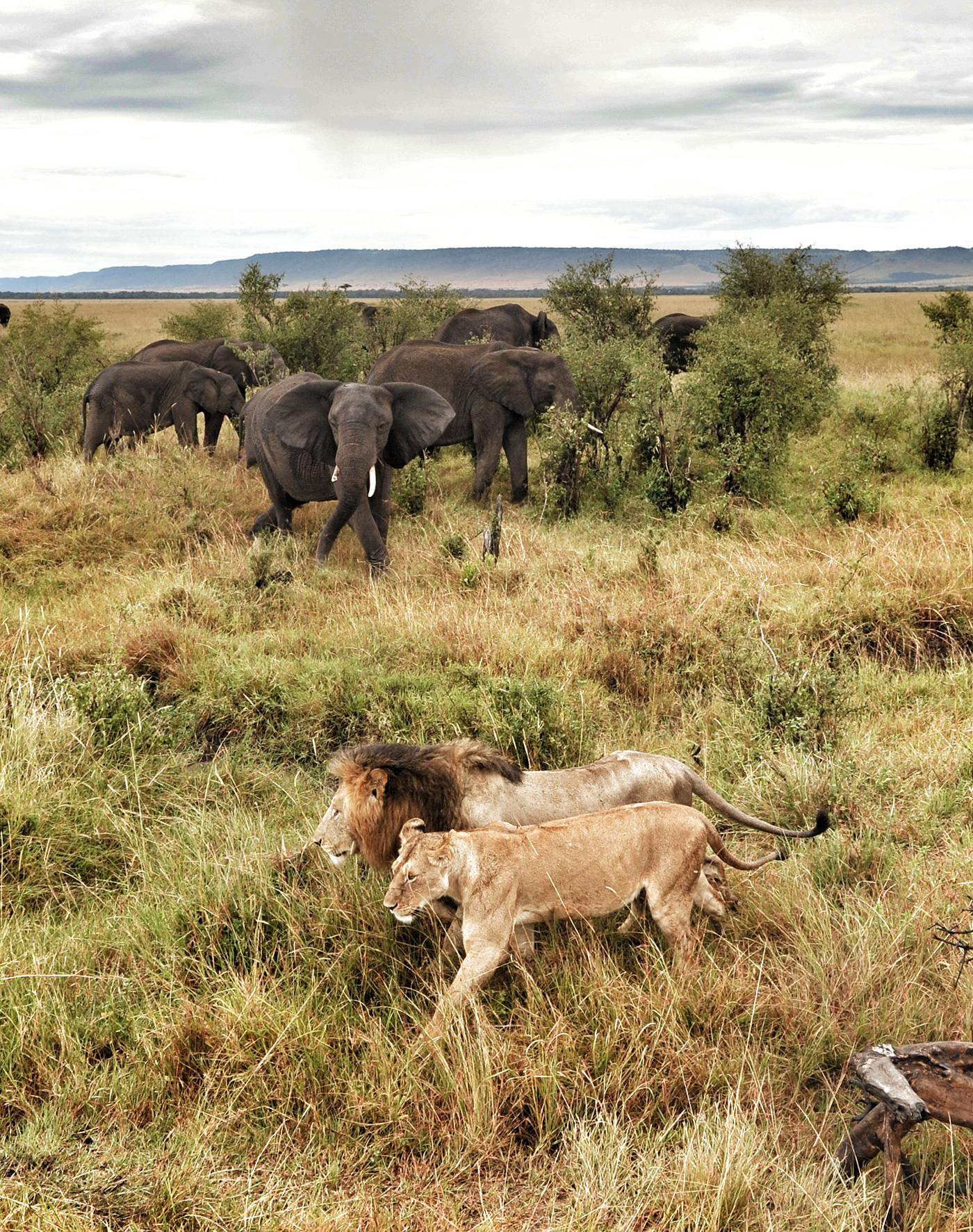 lions-and-elephant