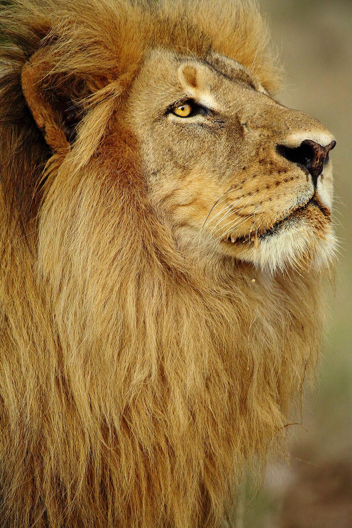 male-lion-©john-de-jager