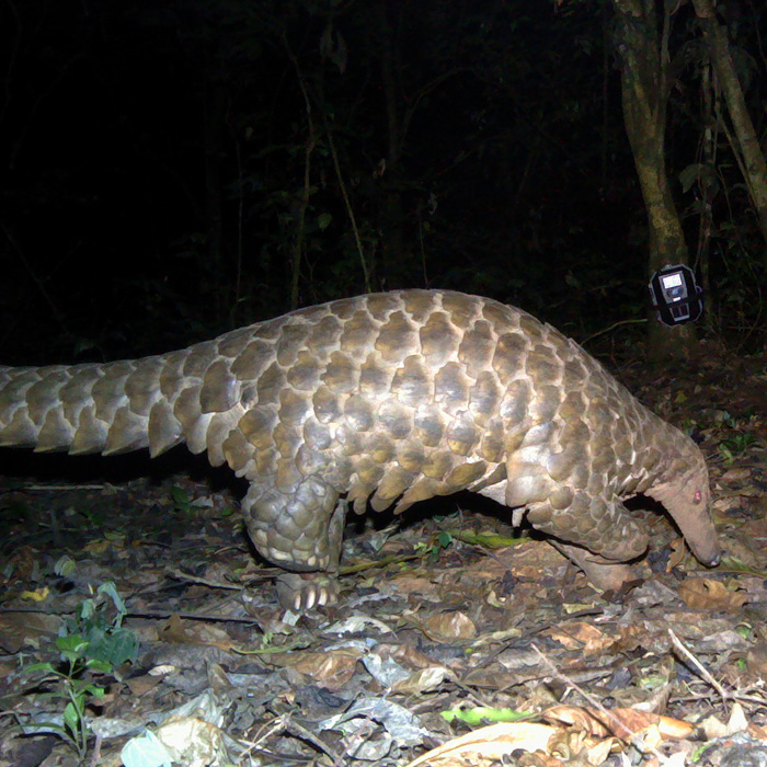 Giant_pangolin_DRMills_Panthera