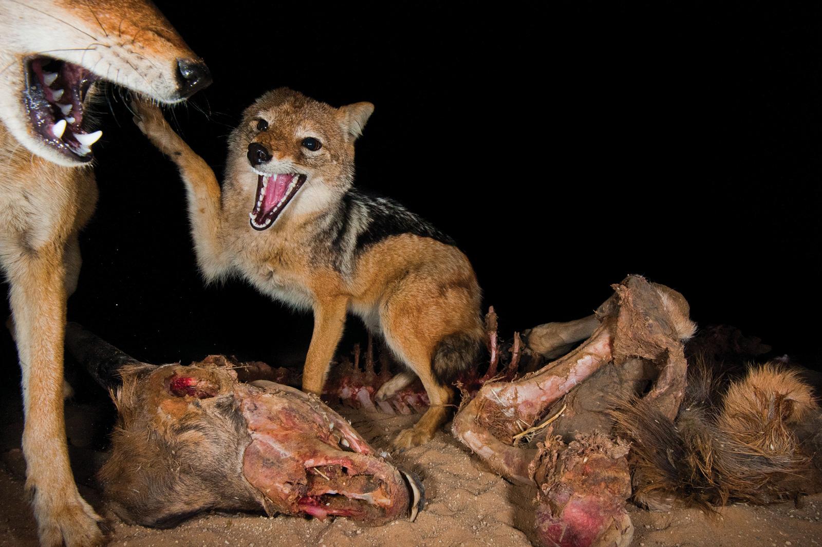 Hannes-Lochner-Kalahari-jackals-over-kill