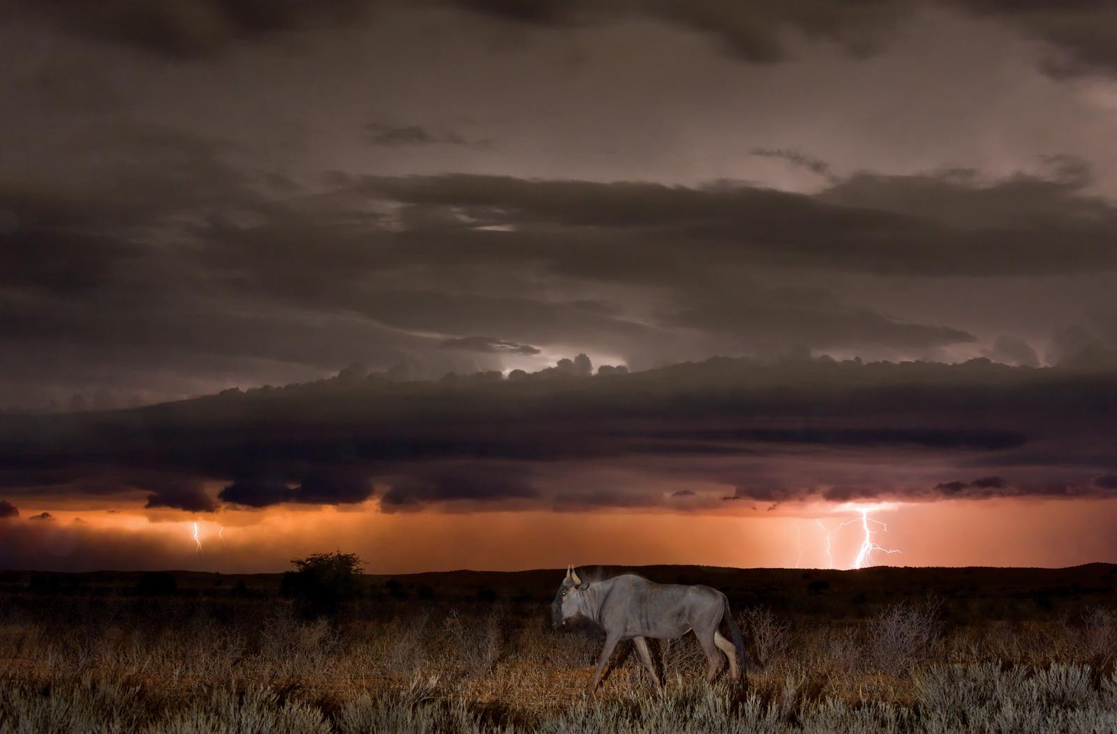 Hannes-Lochner-Kalahari-wildebeest-lightning