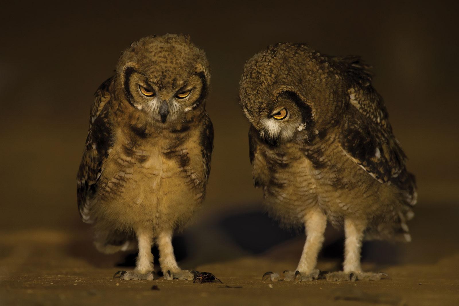 owls-hannes-lochner
