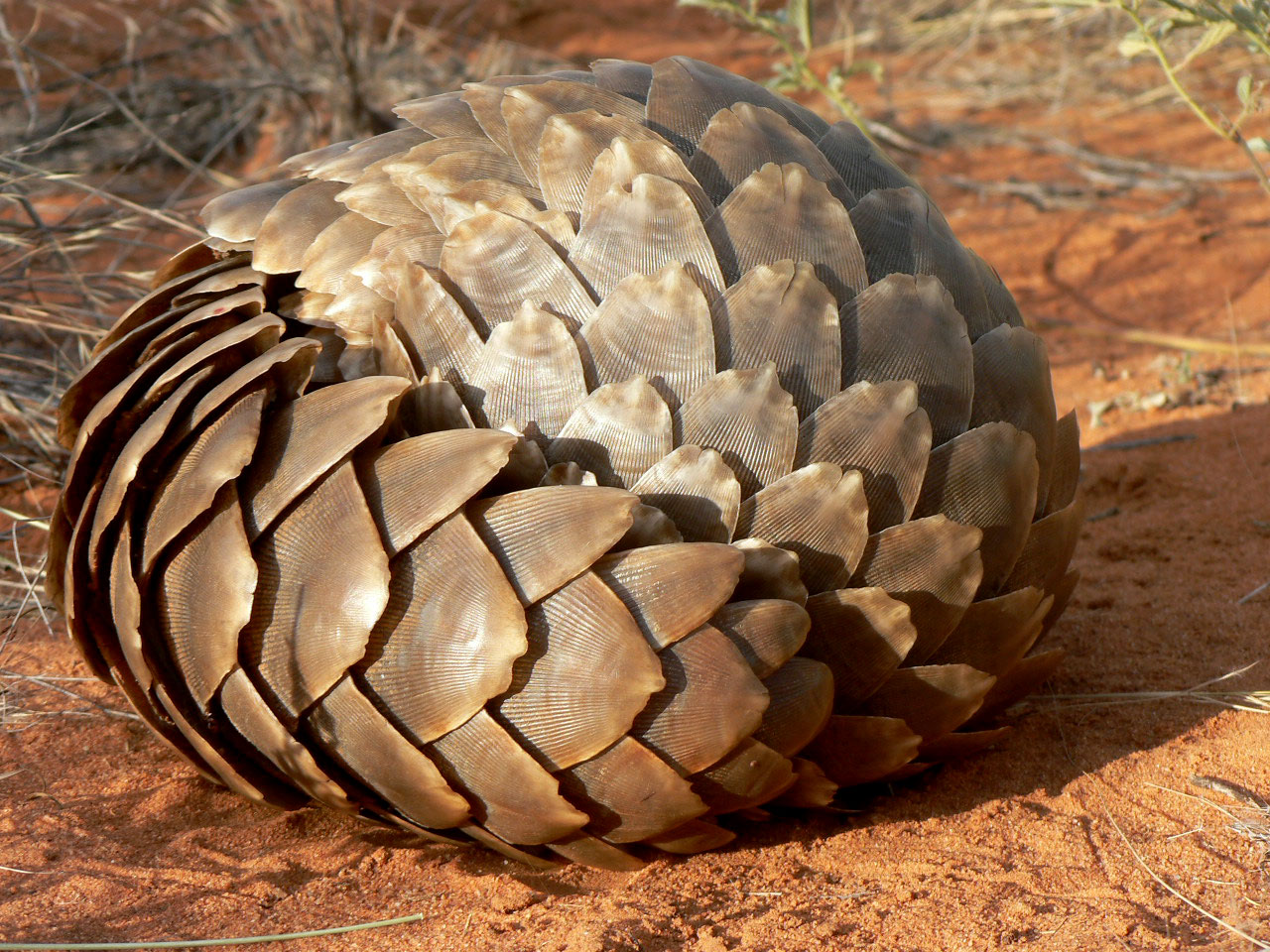 pangolin-curled-up-APWG