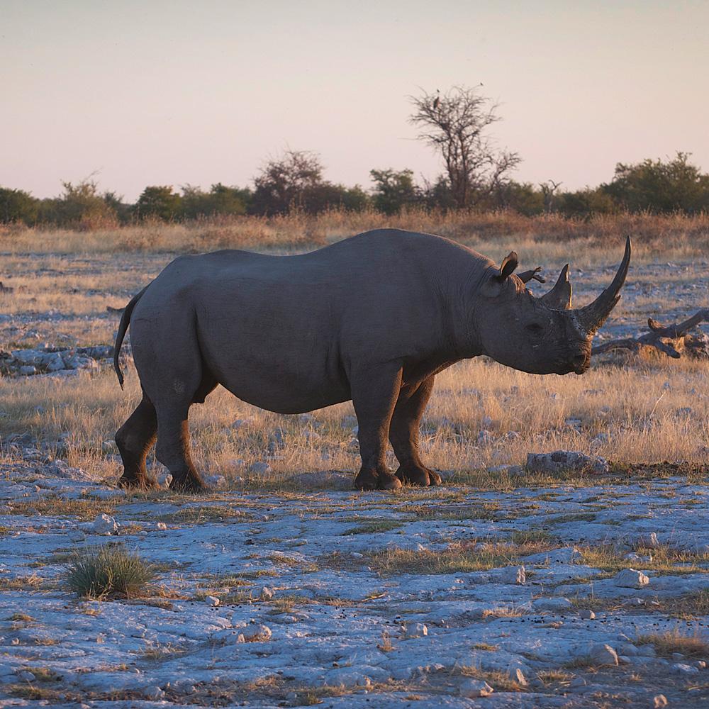 African-adventure-jeff-tyser-kerryn-lee-maggs-Etosha_Black_Rhino