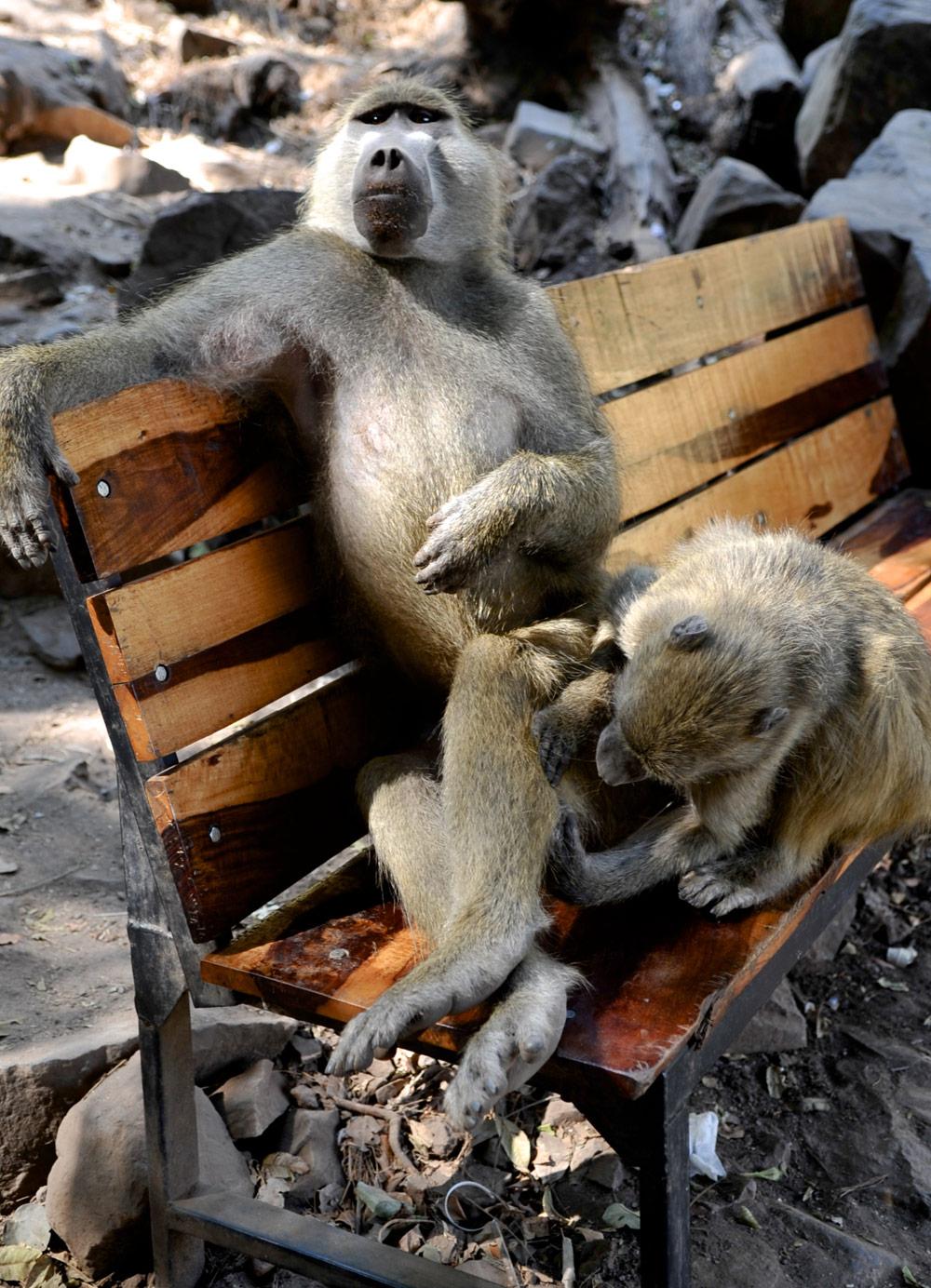 Baboons-anton-crone
