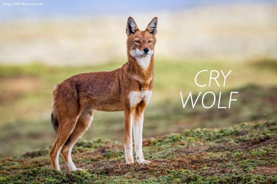 Ethiopean-wolf-header-cry-wolf