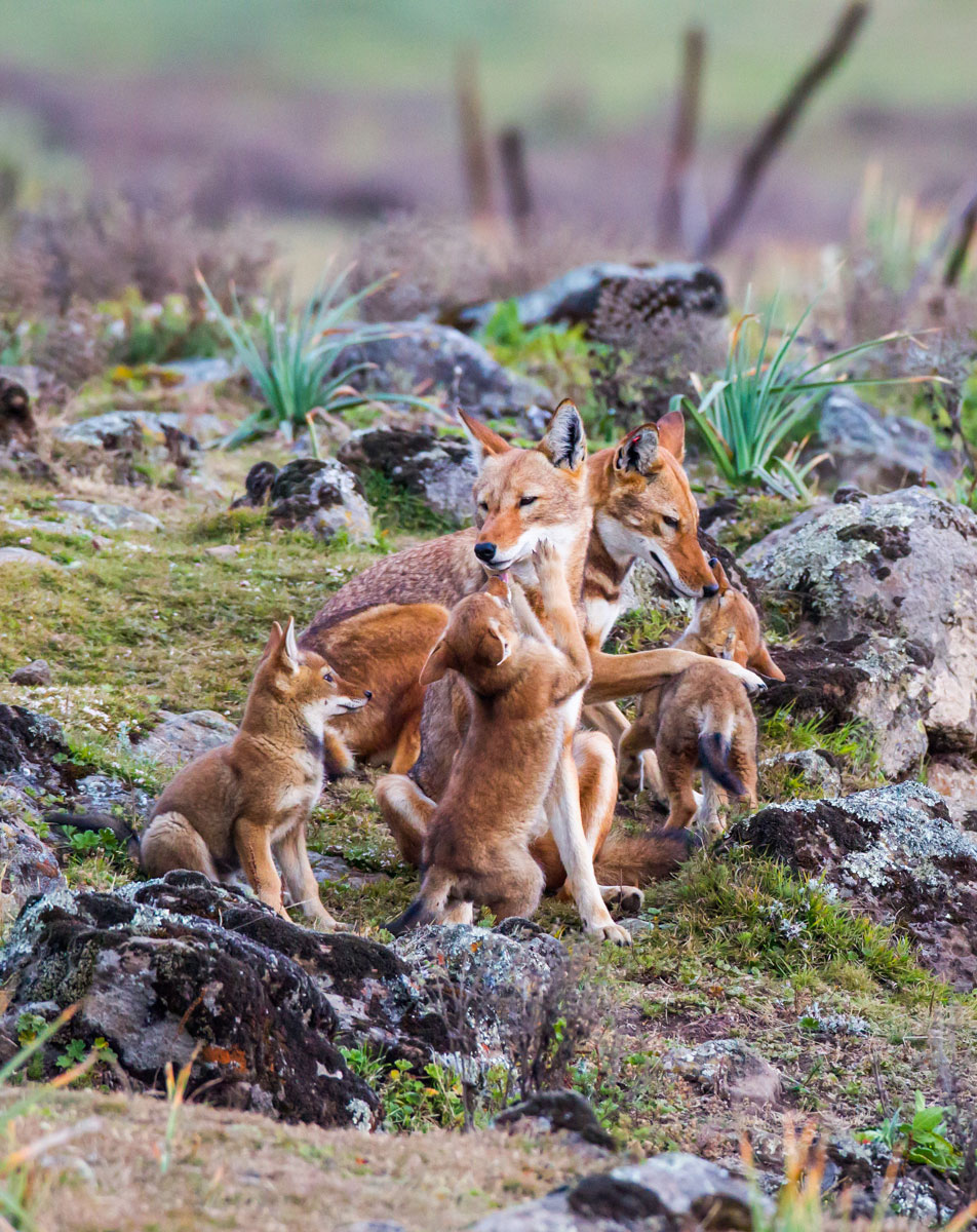 Wolf-family-ethiopia-will-burrard-lucas