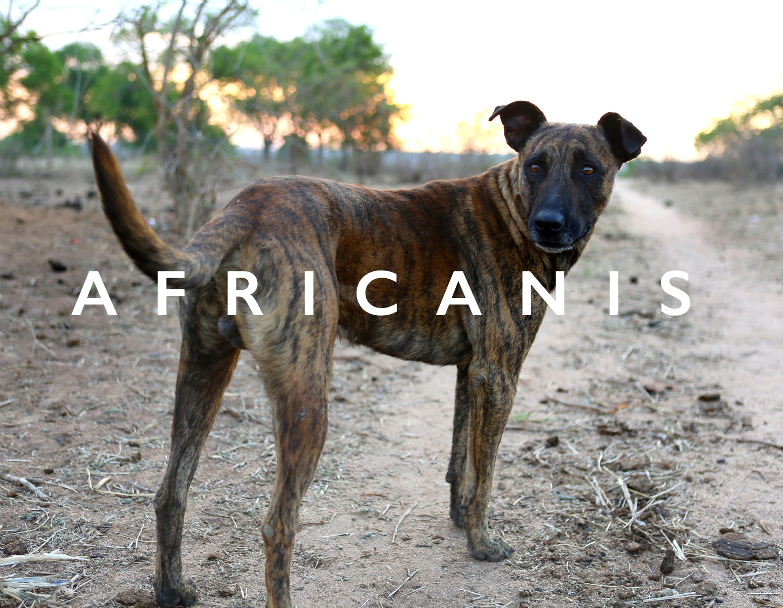 THE DOG SHAPED BY AFRICANS FOR AFRICA