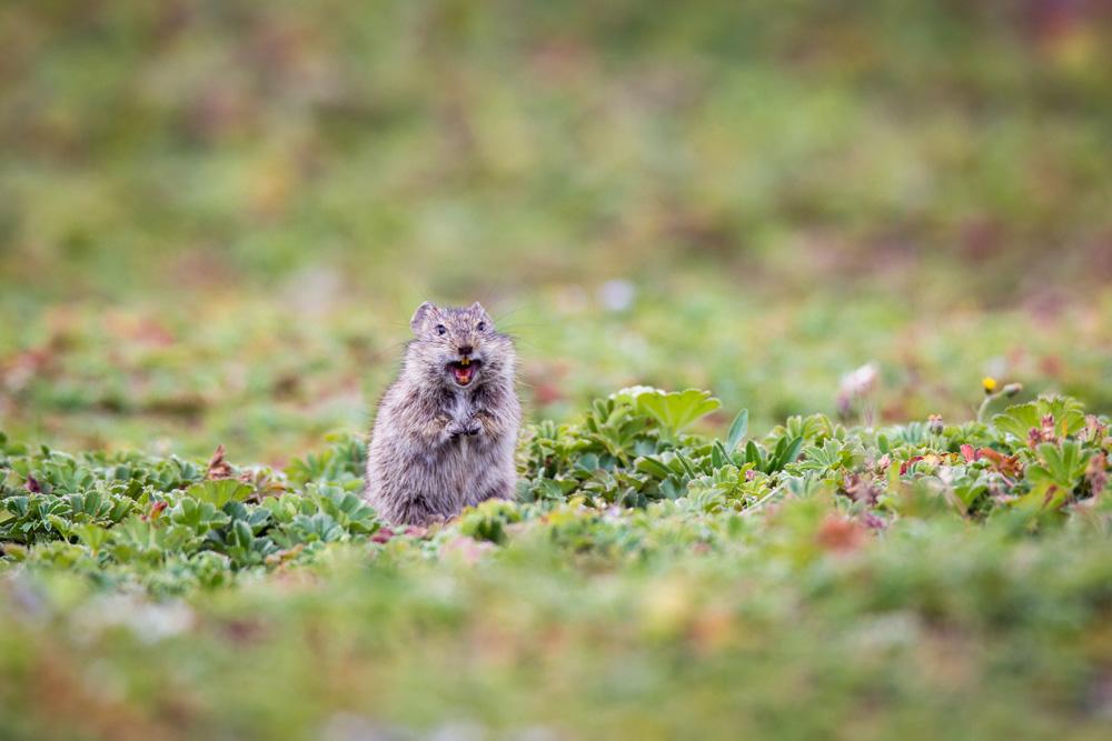 grass-rat-ethiopia-will-burrard-lucas