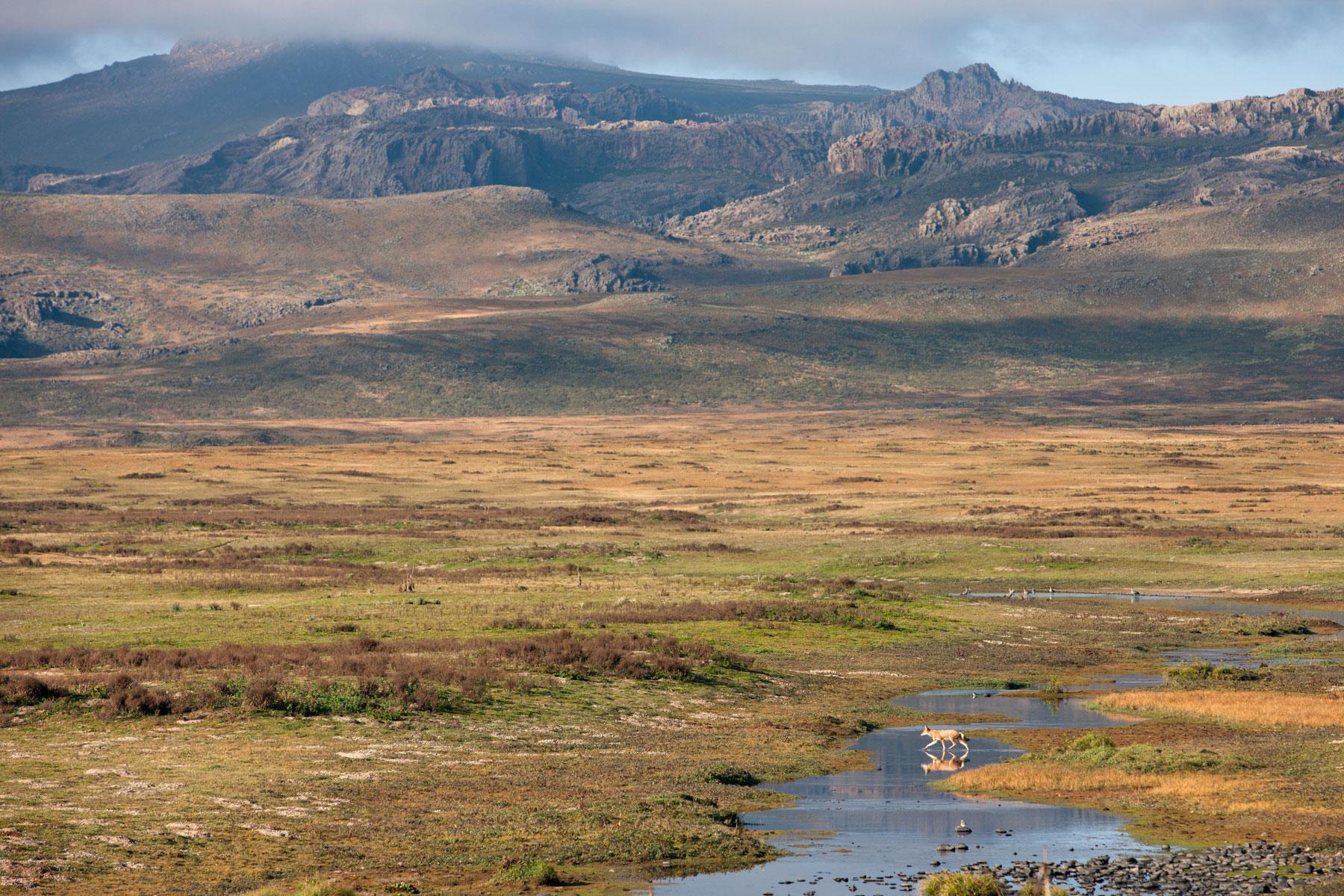wolf-ethiopia-crossing-stream-Will-burrard-lucas