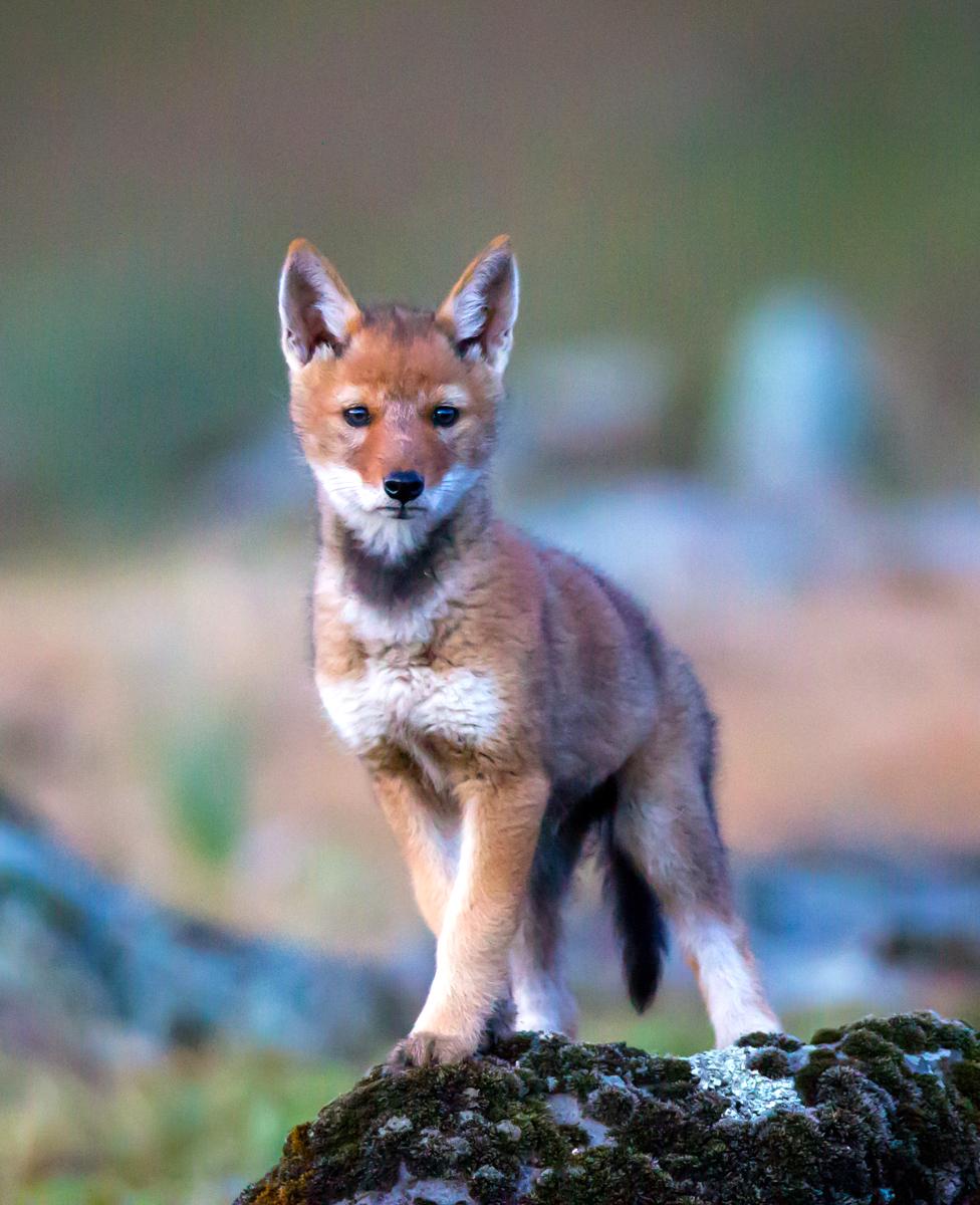 wolf-pup-will-burrard-lucas