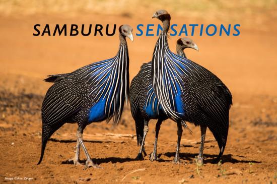 Ana-Zinger-vulturine-guinea-fowl-4