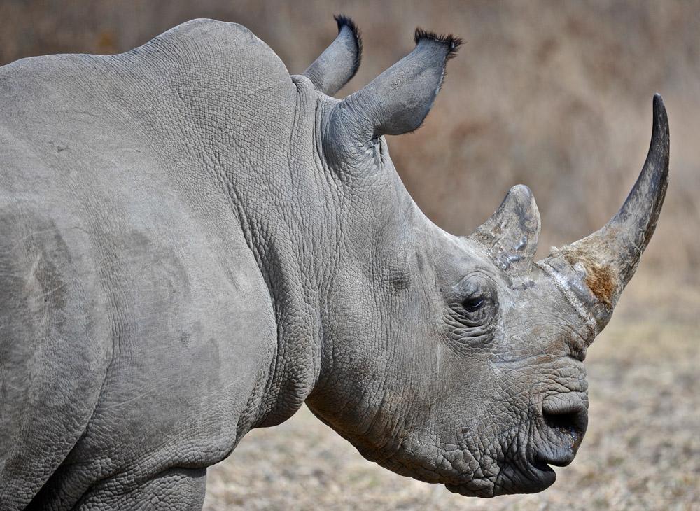 Rhino-profile