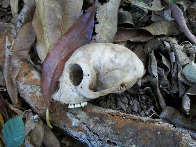 Vervet_skull_side_Ilanda