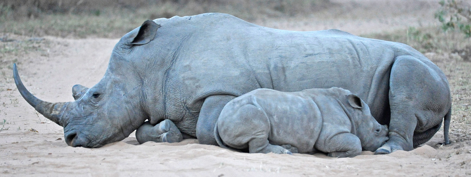 mother-and-calf-rhino-dex-kotze